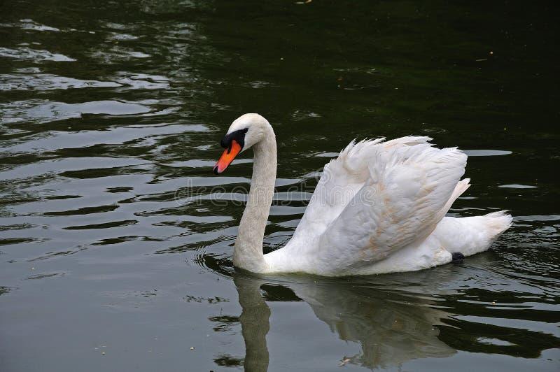 Cigno bianco su acqua nera immagine stock libera da diritti
