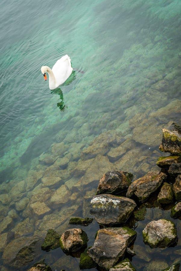 Cigno bianco sul lago geneva fotografia stock libera da diritti