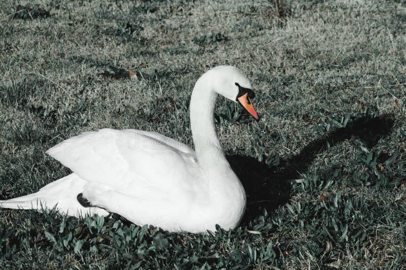 Cigno bianco sull'erba fotografia stock