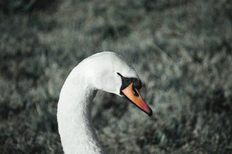 Cigno bianco sull'erba fotografia stock libera da diritti