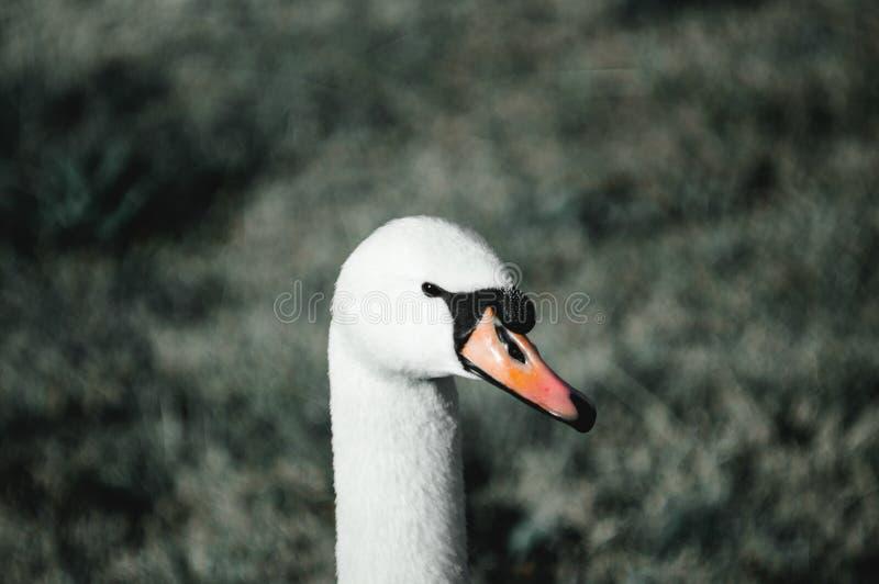 Cigno bianco sull'erba immagini stock