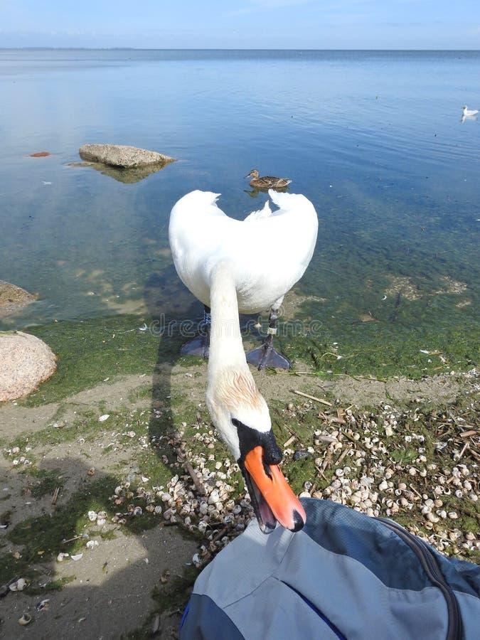 Cigno bianco sulla costa del lago fotografie stock