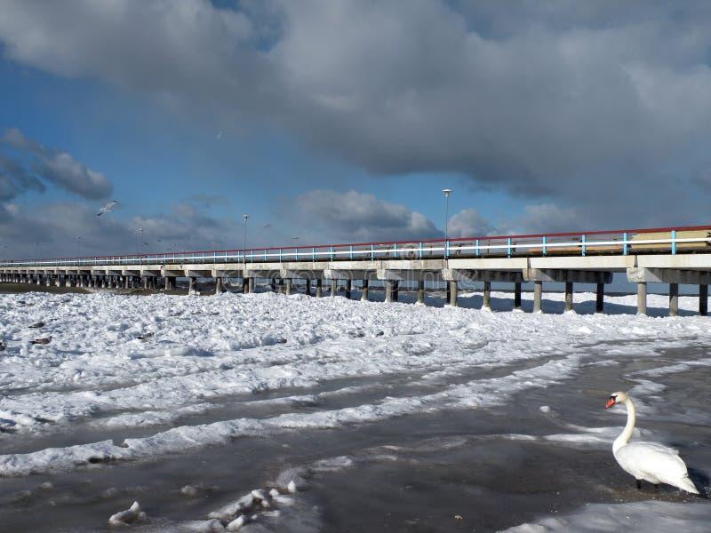 Cigno bianco sulla costa del Mar Baltico, Lituania fotografia stock libera da diritti