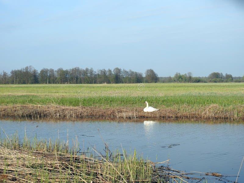 Cigno bianco vicino a chanel in primavera, Lituania immagini stock libere da diritti
