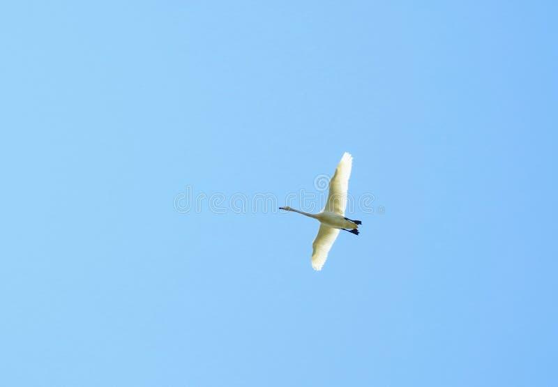 Cigno bianco volante immagine stock libera da diritti