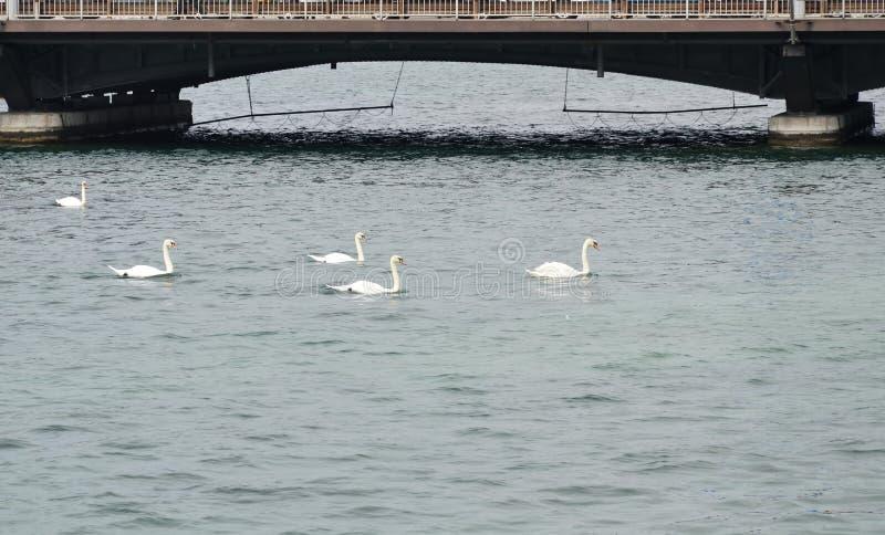 Cigno che nuota vicino al ponte sul lago a Ginevra Svizzera immagini stock