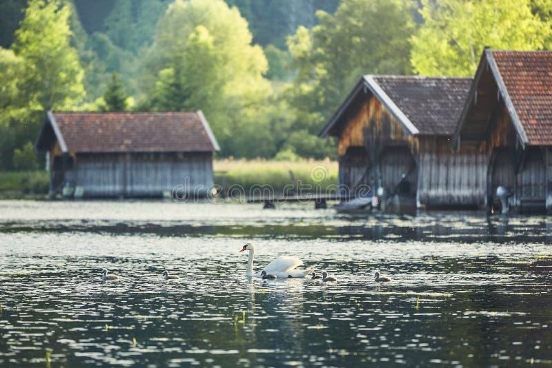 Cigno con i cigni neonati sul lago immagini stock libere da diritti
