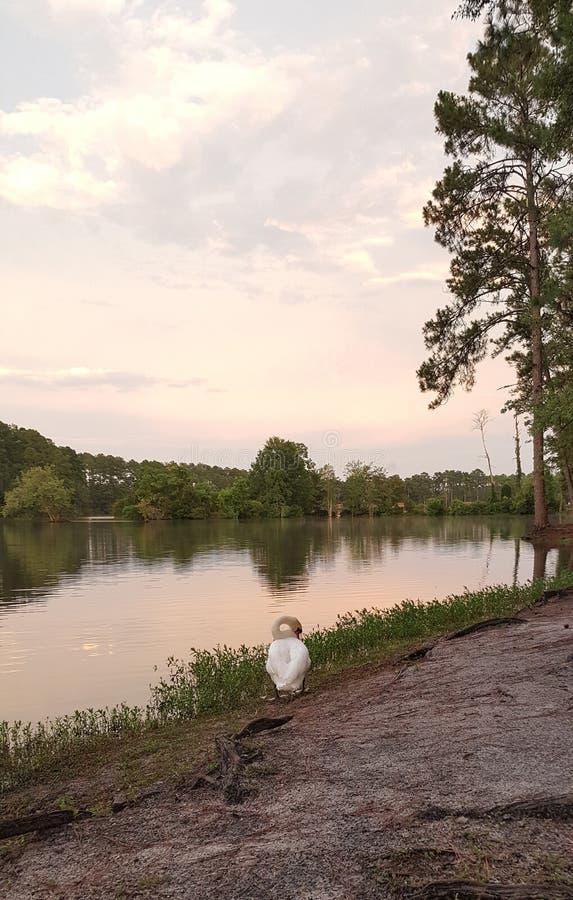 Cigno con il lago al crepuscolo immagine stock libera da diritti
