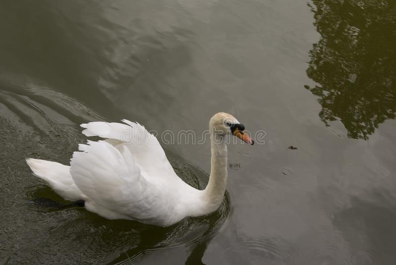 Cigno con le piume bianche in acqua fotografia stock libera da diritti