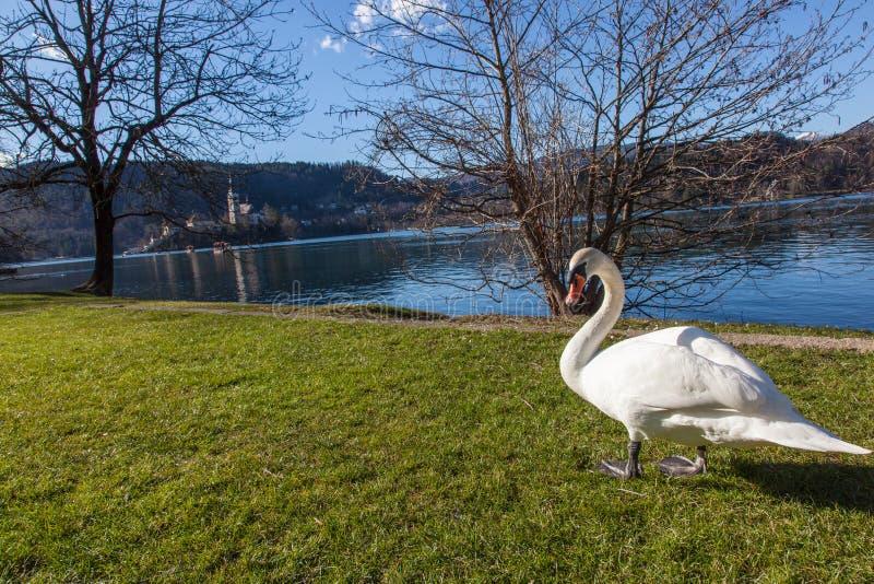 Cigno dal lago fotografia stock