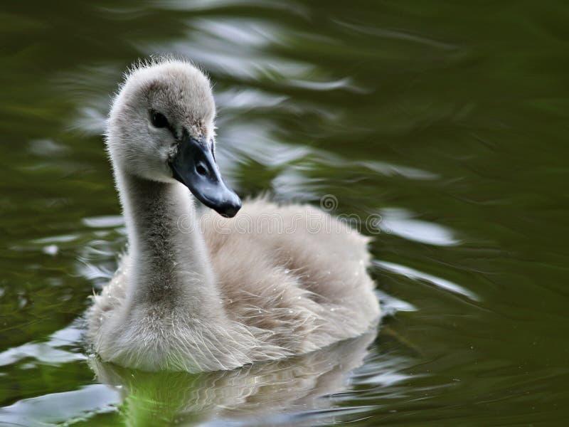 Cigno del bambino in acqua fotografia stock