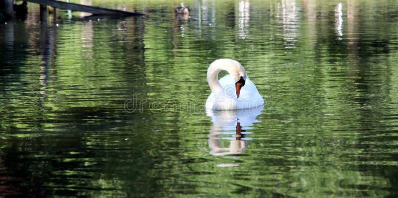 Cigno dell'uccello di Woter dei laghi boston mA del parco di animali degli uccelli fotografia stock