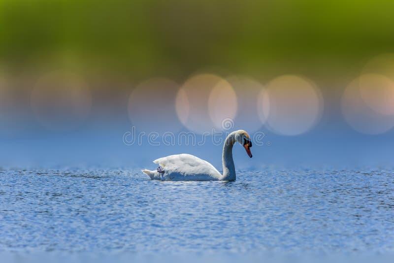 Cigno di nuoto fotografie stock