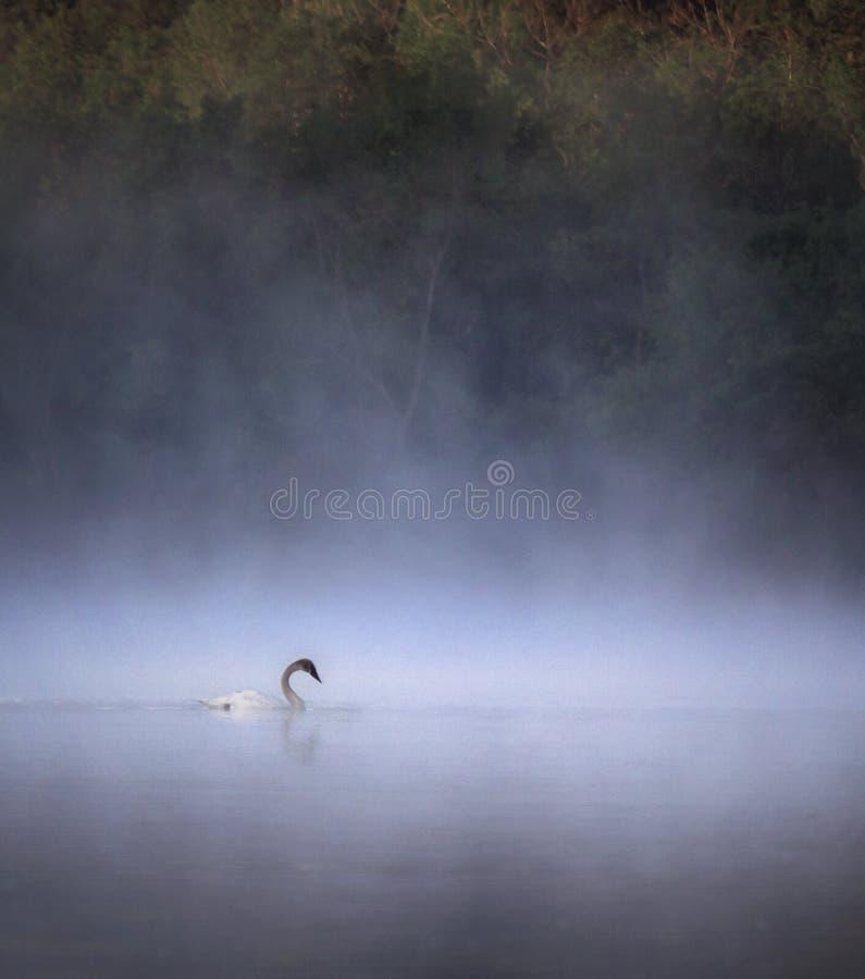Cigno di trombettista in nebbia di primo mattino fotografia stock libera da diritti