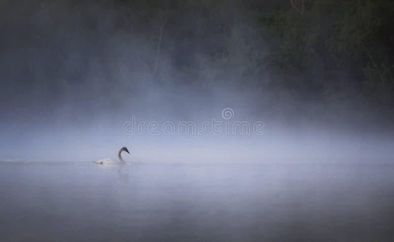 Cigno di trombettista in nebbia di primo mattino fotografie stock