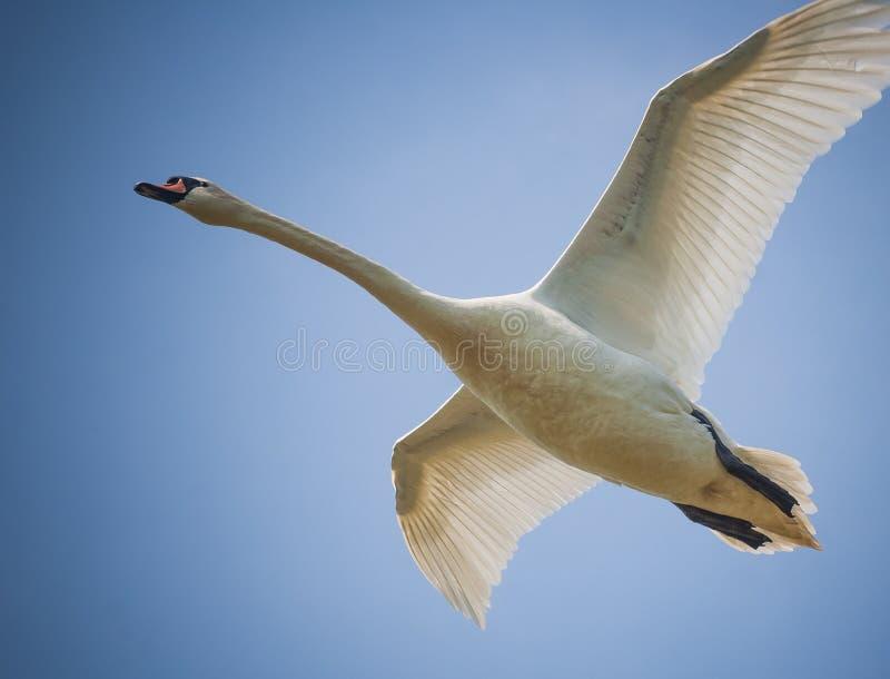 Cigno di volo fotografie stock