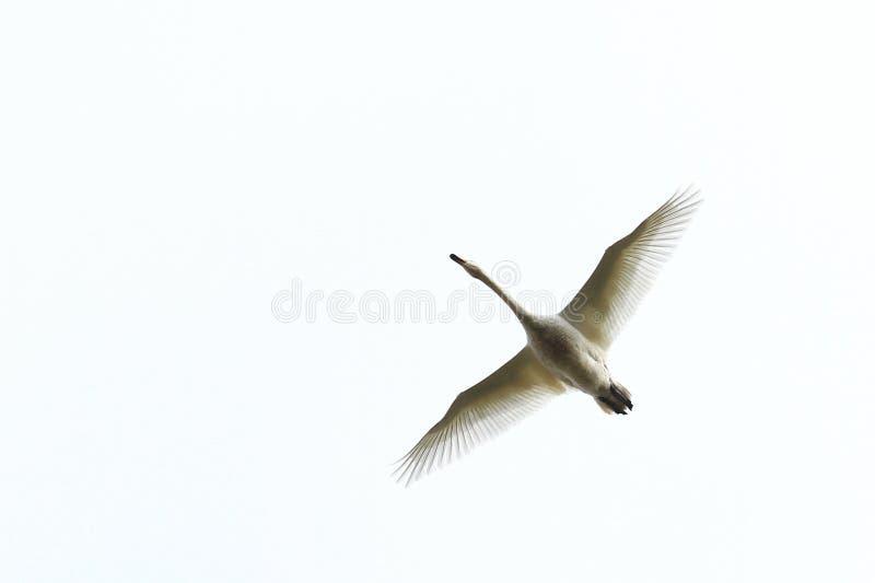 Cigno di Whooper in volo fotografia stock libera da diritti