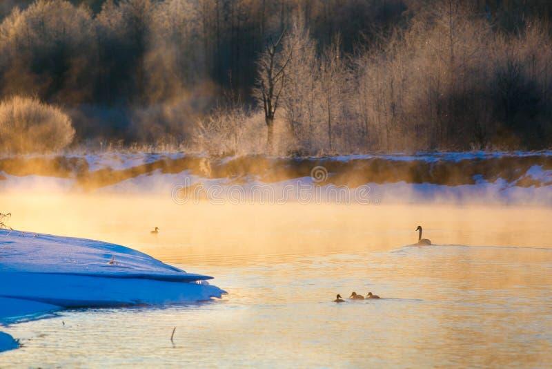 Cigno e piccoli anatroccoli nel lago di inverno alla luce solare dorata immagine stock libera da diritti