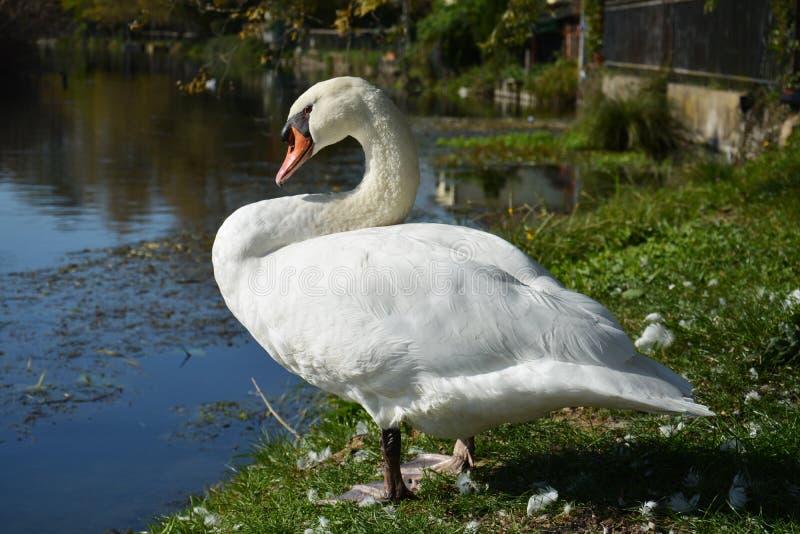 Cigno e piume bianchi, immagine elegante romantica fotografia stock