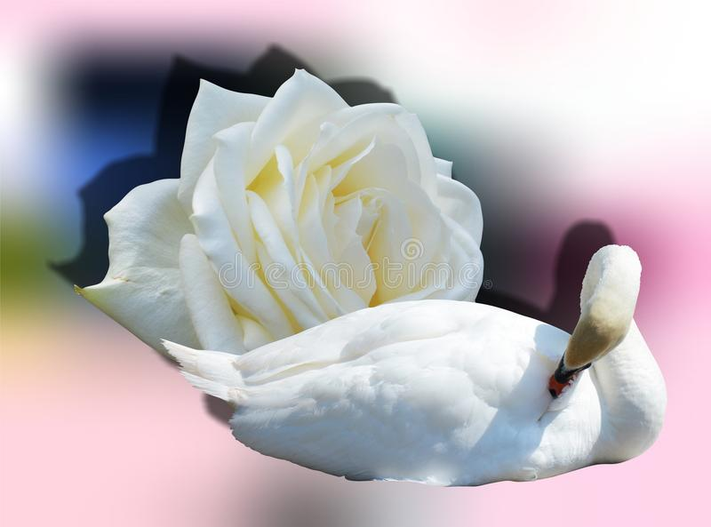 Cigno e Rosa immagini stock libere da diritti