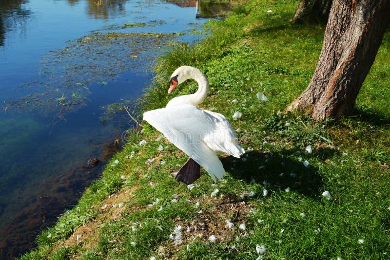 Cigno ed ala aperta sull'erba immagini stock libere da diritti