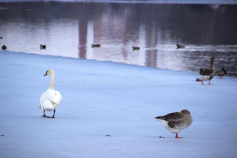 Cigno ed anatre sul fiume congelato fotografia stock