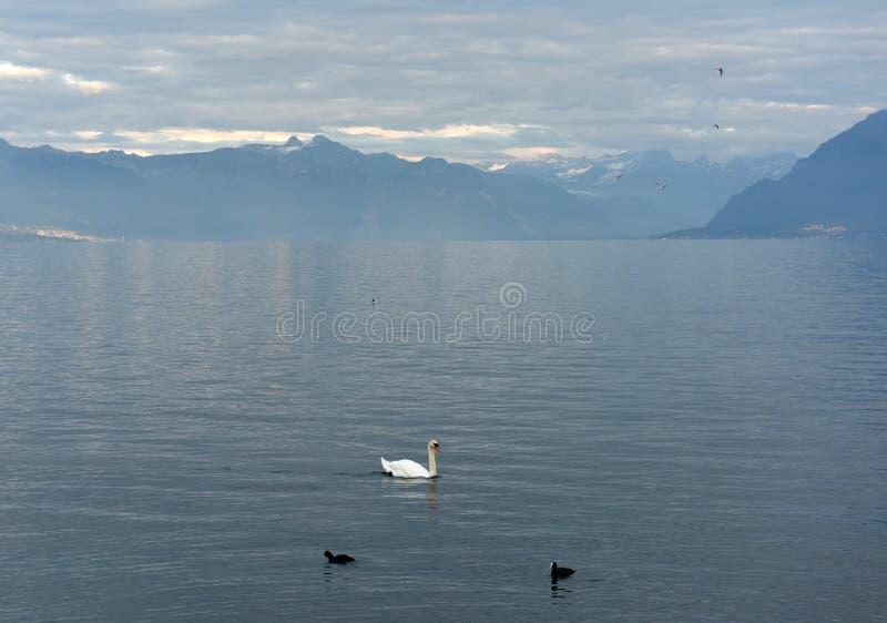 Cigno ed anatre sul lago Lemano a Losanna, Svizzera fotografia stock