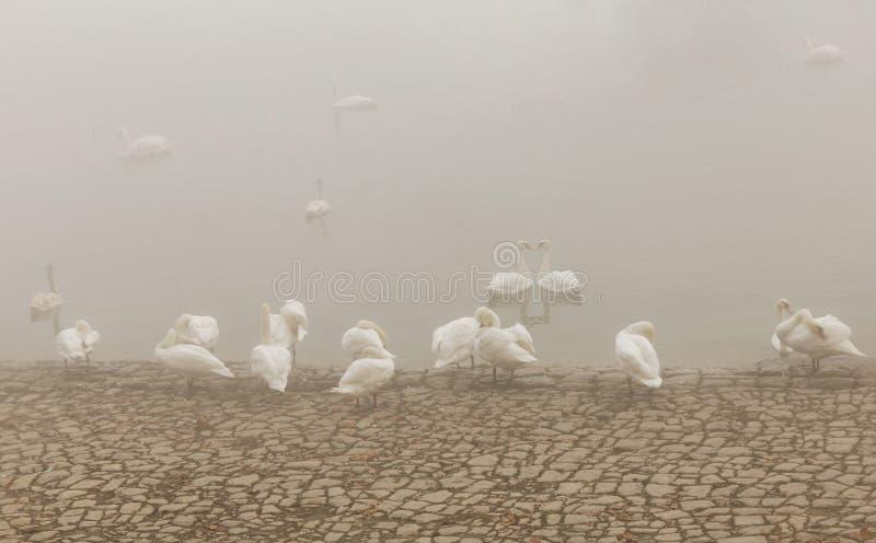 Cigno in fiume Danubio, giorno nebbioso immagine stock