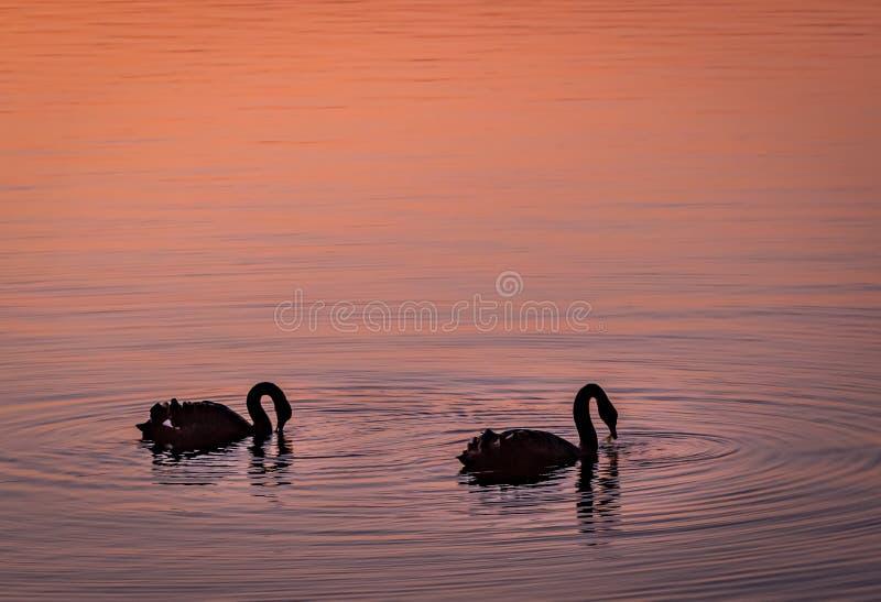 Cigno gemellato in un lago nel crepuscolo rosa fotografia stock libera da diritti