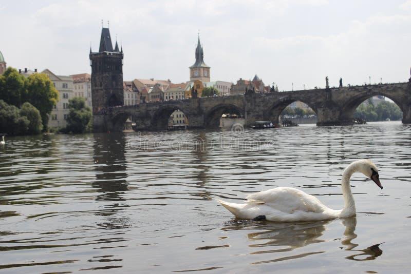 Cigno il Danubio Praga fotografia stock
