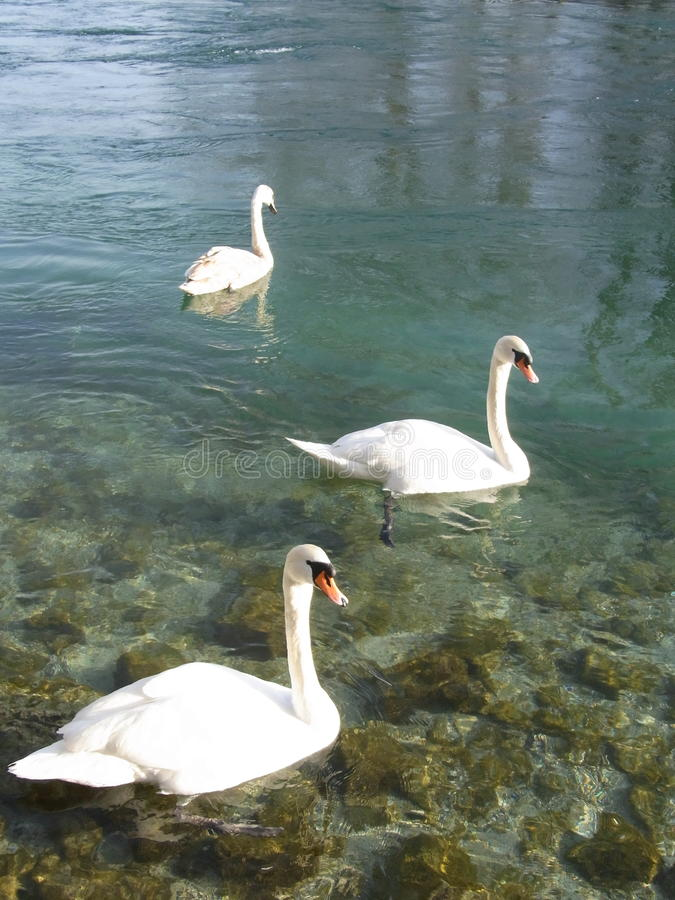 Cigno il lago Lemano immagine stock