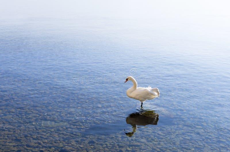 Cigno in lago Ocrida fotografia stock libera da diritti