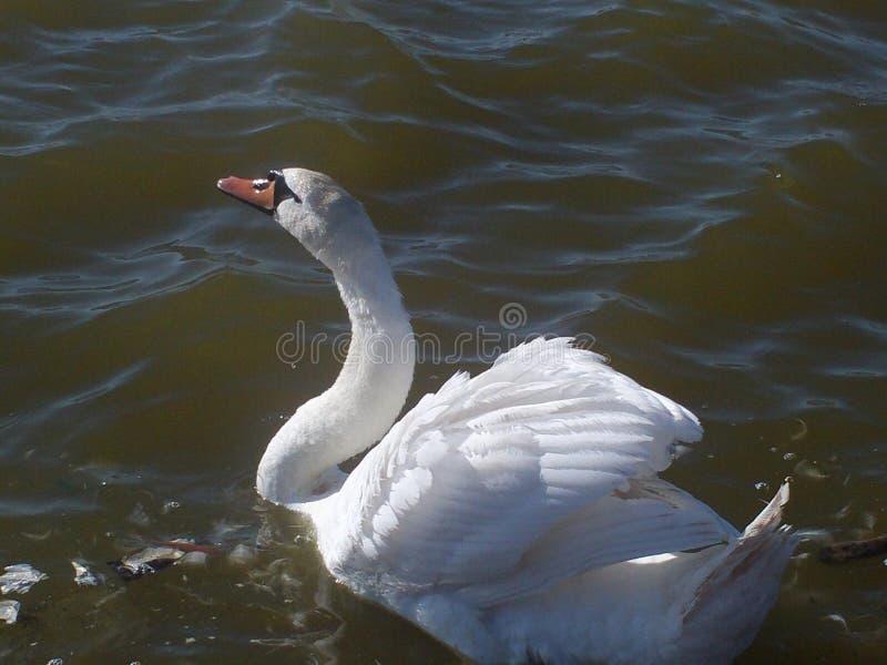 Cigno in lago in porticciolo immagine stock