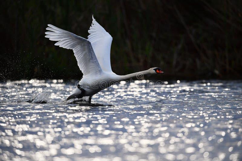 Cigno nel delta del Danubio fotografia stock