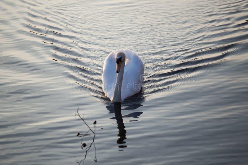 Cigno nell'acqua del parco nazionale della valle di Sandwell fotografia stock