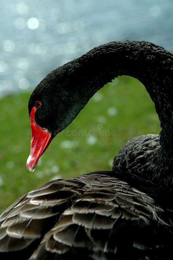 Cigno nero fotografia stock
