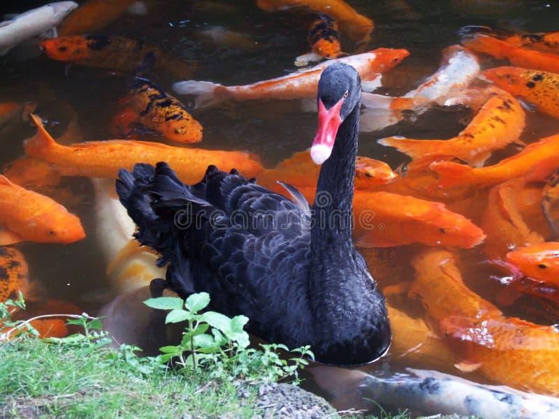 Cigno nero e carpe rosse fotografia stock