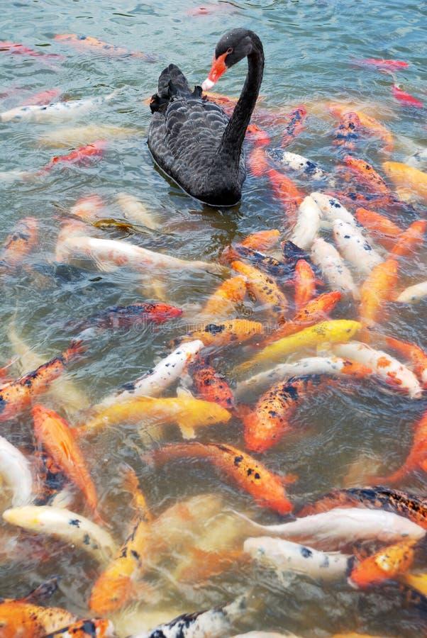Cigno nero e pesci immagine stock