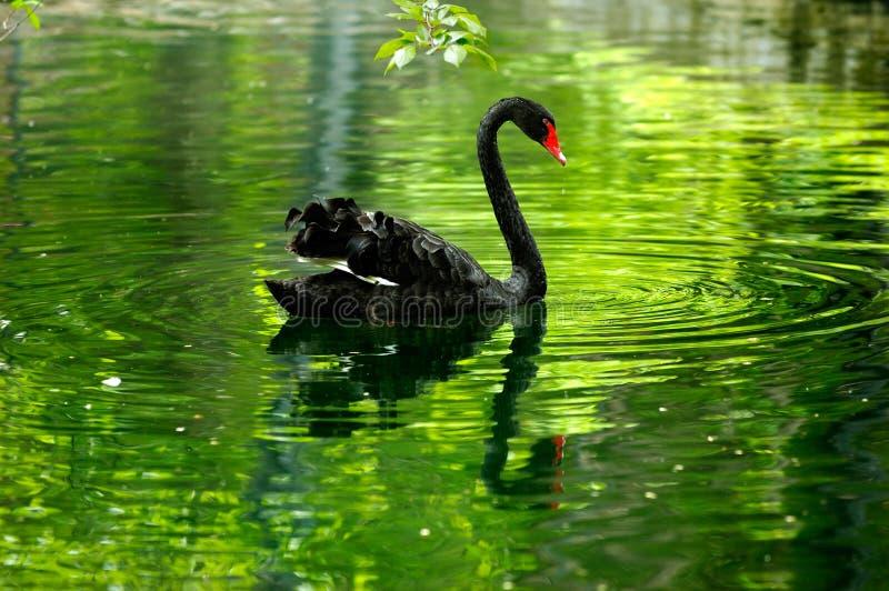 Cigno nero nello stagno fotografie stock libere da diritti