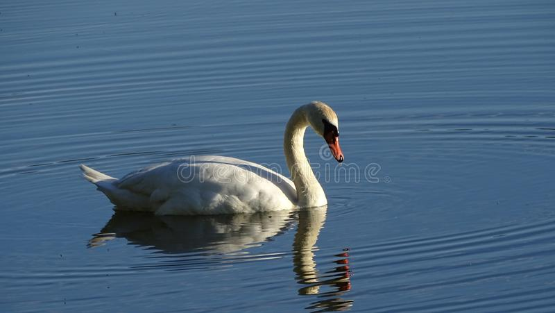 Cigno selvaggio, cigno sul lago, fotografia stock libera da diritti