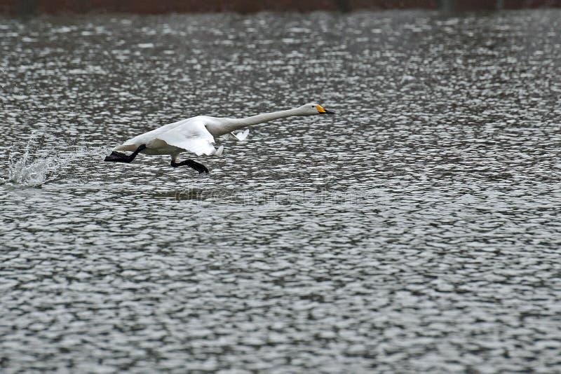 Cigno selvatico, cygnus del Cygnus che sorvola l'acqua fotografia stock