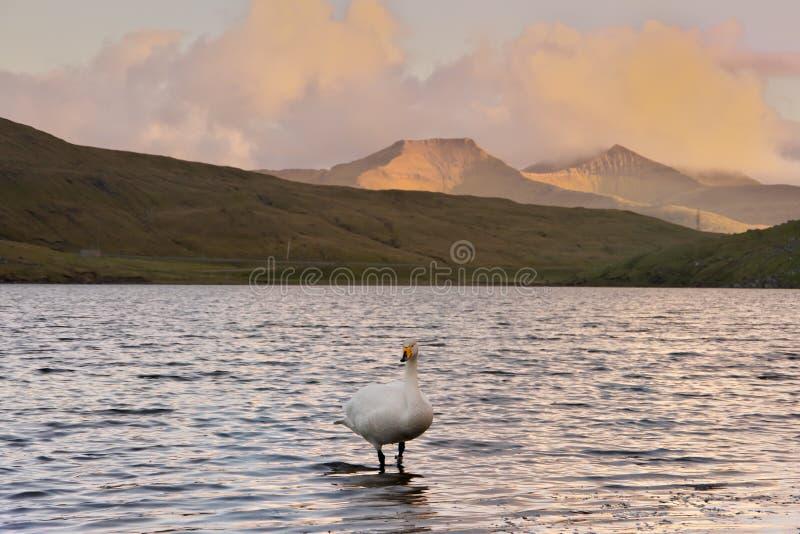 Cigno selvatico del cygnus del Cygnus, condizione di Singschwan nel lago fotografia stock libera da diritti