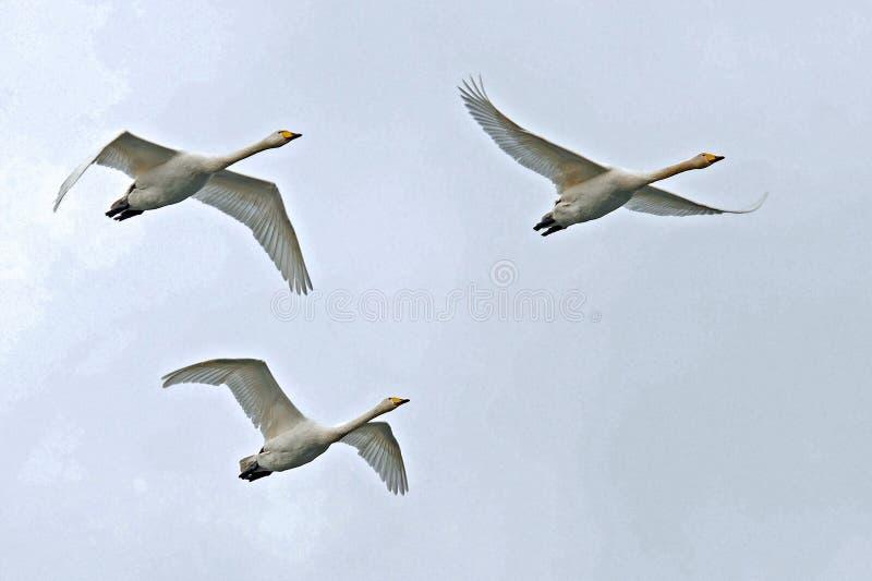 Cigno selvatico, volo del cygnus del Cygnus nel cielo fotografia stock
