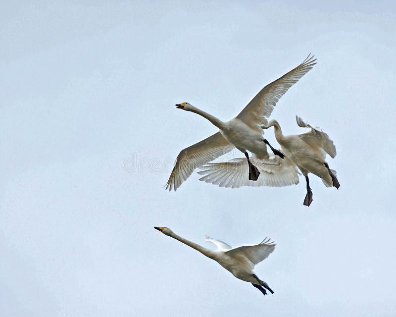 Cigno selvatico, volo del cygnus del Cygnus nel cielo immagini stock