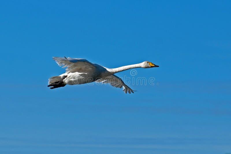 Cigno selvatico, volo del cygnus del Cygnus nel cielo fotografie stock
