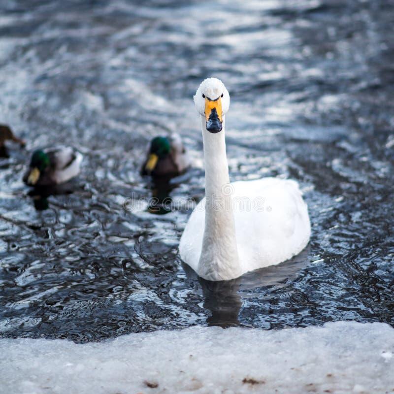 Cigno serio nella corrente fredda di inverno fotografia stock