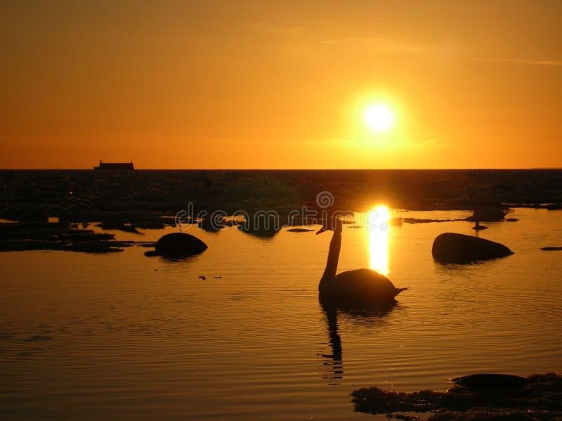 Cigno solo su un'acqua di mare liscia fotografie stock libere da diritti