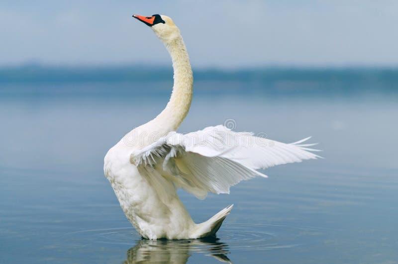 Cigno splendido sul lago immagine stock libera da diritti