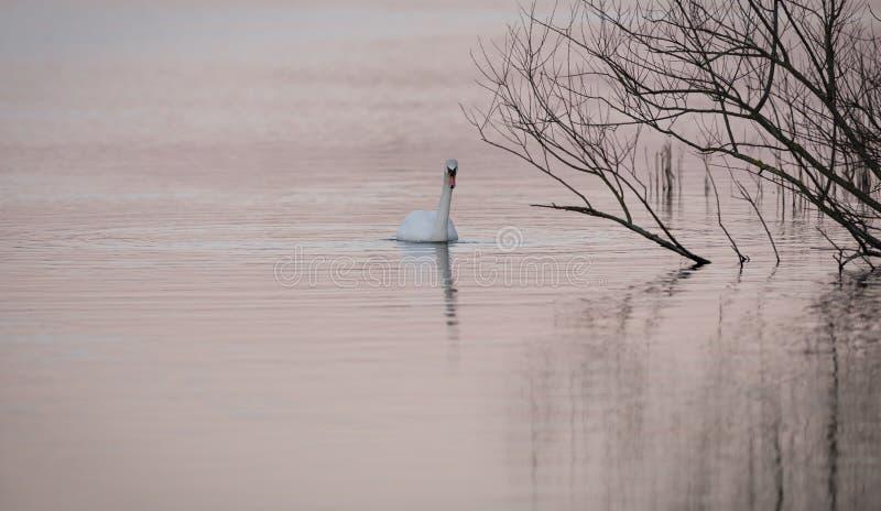 Cigno su acqua rosa fotografie stock libere da diritti
