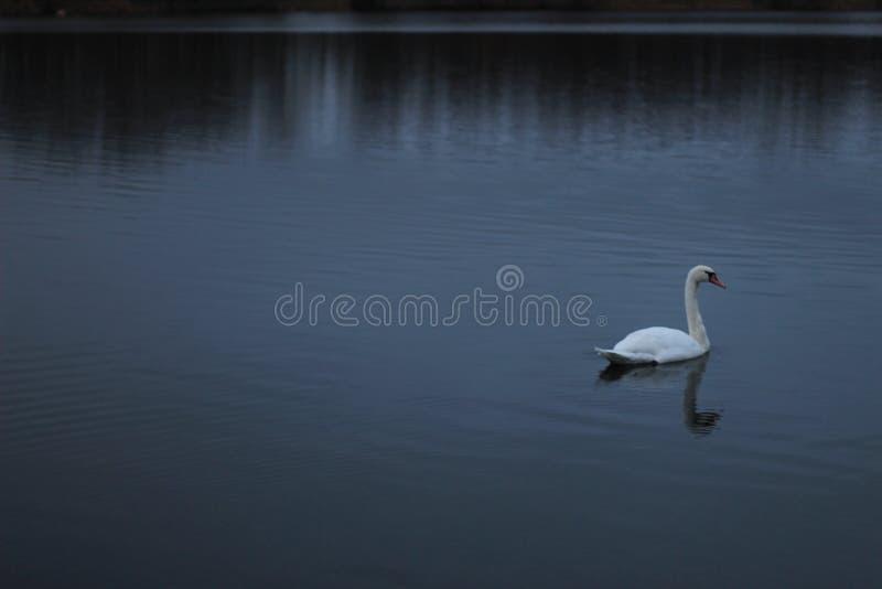Cigno sul fiume fotografie stock libere da diritti